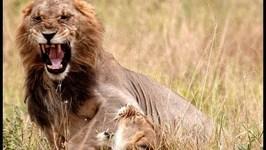 Lions Mating, Tarangire National Park, Tanzania