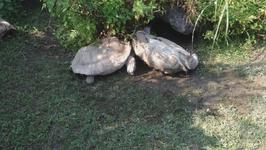 Turtle Lends a Helping hand to Flipped Companion